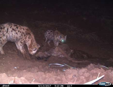 I spy with my little eye…….oh my word it's a spotted hyena